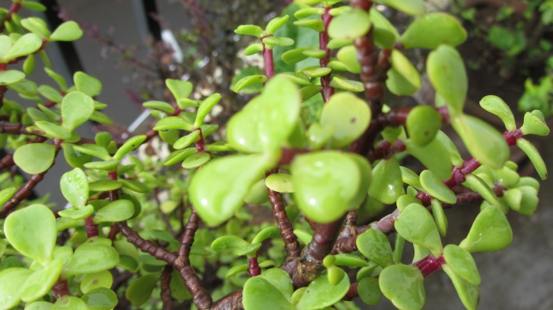 wet leaves of the jade plant