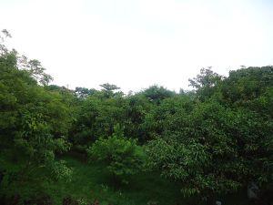 Trees at Cipla Centre